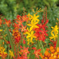 Crocosmia Mix - 10 ks v balení