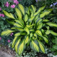Hosta Rainbows End