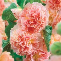 Alcea Rosea Peaches and Dream