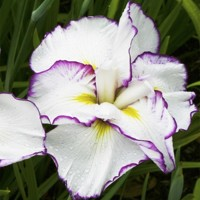 Iris Ensata Frilled Enchantment